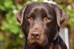 Labrador (niclaskristoffersson) Tags: dog friend labrador elsa