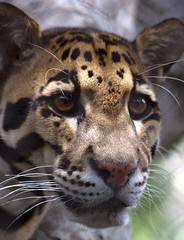 Brown-Eyed Girl (PelicanPete) Tags: portrait usa nature beauty face animal closeup asian mammal intense eyes colorful unitedstates natural florida miami outdoor stripes wildlife whiskers spots bigcat sunlit markings carnivore southflorida cloudedleopard miamiflorida browneyedgirl dadecounty specanimal diamondclassphotographer flickrdiamond zoomiami dmslair