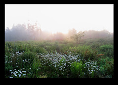 The daisies' morning (Maine Islander) Tags: dawn sunrise fog morning daisies