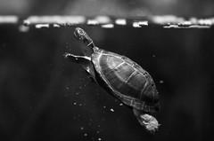 I need air and quickly (rondoudou87) Tags: aquarium turtle tortue nature pentax blackwhitephotos