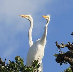 Young great egrets (Seabird Stalker) Tags: birds st florida augustine egrets greategrets alligatorfarm