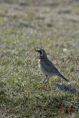 Horned Lark-16-4 (Ian L Winter) Tags: ca canada nature birds newfoundland saintbrides capestmarys capeshore hornedlark newfoundlandandlabrador capestmarysecologicalreserve