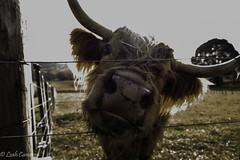 Hello lovely! (leah-nz) Tags: animal rural cow cattle outdoor farm horns highland bovine