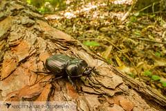 Triceratops Beetle (Phileurus truncatus) 20160619_0424.jpg (Abbott Nature Photography) Tags: animals us unitedstates alabama gordo hexapoda polyphaga insectainsects coleopterabeetle arthropodaarthropods scarabaeidaescarabbeetles organismseukaryotes invertebratainvertebrates
