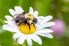 Mountain Bumble Bee (Just Used Pixels) Tags: utah us unitedstates bumblebee daisy mantua