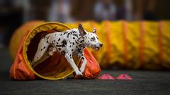 Agility night Belgrade (DigitalBite) Tags: dog pet dogs action agility dalmatian dogphotography postprocessing petphotography dogsport dalmatiandog