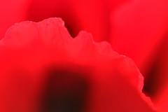 Poppy Red (gripspix (OFF)) Tags: 20160605 nature natur plant pflanze blte blossom poppy mohn klatschmohn papaverrhoeas petal bltenblatt texture textur