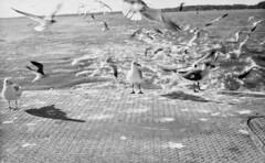 Gulls (benlarsen93) Tags: sea film birds kodak gulls trix tri retina
