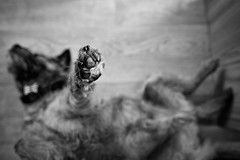. . . high five george (orangecapri) Tags: orangecapri george bt georgetheborderterrier dogexpression dog dogsleeping borderterrier terrier mono bw black white ldl ldlnoir thelittledoglaughed sleeping dof littledoglaughednoiret hmbt border