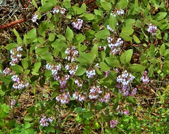 Manzanita in Bloom (dinannee) Tags: bush blooms manzanita