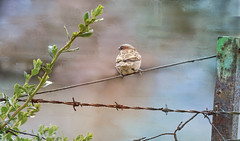 """Like a bird on the wire ...."" (Elisafox22) Tags: elisafox22 sony rx10iii fencefriday fence wire barbedwire metal rust rusty fencepost sparrow treesparrow bird texture fencedfriday outdoors elisaliddell©2016"