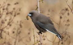 dusky woodswallow (Artamus cyanopterus)-3639 (rawshorty) Tags: birds australia canberra act jerrabomberrawetlands rawshorty
