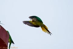 IMG_7088L4 (Sharad Medhavi) Tags: bird canoneod50d birdsandbeesoflakeshorehomes