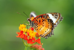 Leopard Lacewing Butterfly (affinity579) Tags: orange flower colors closeup butterfly island nikon colorful colours bright caribbean colourful 105mm smartin leopardlacewing cethosiacyane coth specanimal d700 coth5 sunrays5