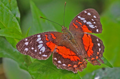Ecu12_60d_02831a (jerryoldenettel) Tags: butterfly insect ecuador peacock 2012 baeza nymphalidae nymphalinae anartia anartiaamathea scarletpeacock