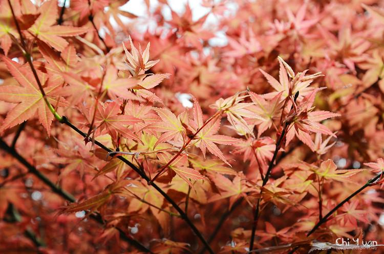 竹子湖紅楓05.jpg