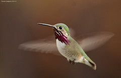 Male Calliope Hummingbird (Stellula calliope) (Photography Through Tania's Eyes) Tags: canada bird animal photography photo bill wings nikon photographer hummingbird bc image britishcolumbia okanagan wildlife feathers photograph hummer hummy okanaganvalley calliopehummingbird stellulacalliope peachland copyrightimage hummingbirdphotography nikond7000 malecalliopehummingbird taniasimpson amazingwildlifephotography allofnatureswildlifelevel1