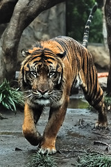 Khunde  - The King of the Jungle (Sumatra-Tiger) Tags: rain animal cat wonderful asian zoo tokyo see drops spain day mr ueno you head tiger can falls falling clear beast keep forever tijger carnivorous tigris tigre bigcats sumatran fuengirola on the spaniard  predetor uenozoologicalgardens flesheating sumatratiger tygr tiikeri  pantheratigrissumatrae sumatraansetijger asiancat tigredesumatra khunde  sumatrantiikeri harimausumatera sumatrakaplan tygrsumatersk ringexcellence tygryssumatrzaski  szumtraitigris       hsumatra