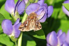Bilobed Looper Moth (NaturalLight) Tags: park creek moth kansas wichita chisholm looper chisholmcreekpark bilobed