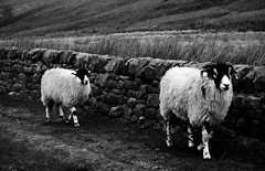 Amblers (CNorth2) Tags: park uk travel autumn two england bw white black fall face car canon sheep district derbyshire peak powershot edge rush why stanage g11 amblers