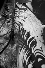 Leaf shadows (Deb Jones1) Tags: light bw nature beauty canon garden gum botanical outdoors flora pattern shadows gumtree lightandshade flickawards debjones1