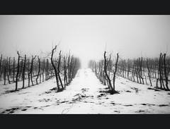 thedevilsorchard (theblueberrybush) Tags: winter bw monochrome fog seasonal orchard