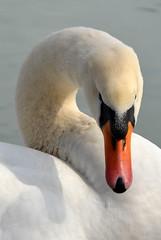 Snow White (redglobe*) Tags: white animal swan nikon cologne köln 5100 schwan