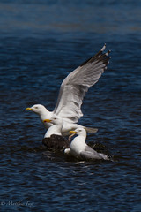 Trio (the_sky_is_falling_) Tags: lake bird nature water fly wildlife gull wash splash conwy