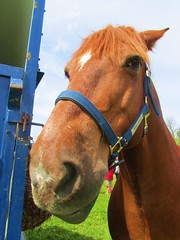 Tetley the Tank (chezabela) Tags: horse funnyface welshcob sectiond