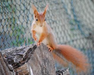 Eichhörnchen im Garten, NGID1317068977