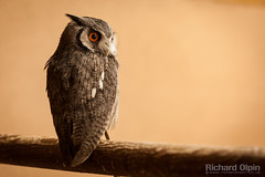 White-Faced Scops Owl (Richard Olpin LRPS) Tags: bird animal fauna flickr wildlife owl online herefordshire kington whitefacedscopsowl owlcentre