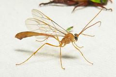 Ichneumon Wasp (Ophioninae, Ichneumonidae) (John Horstman (itchydogimages, SINOBUG)) Tags: insect china bug wasp hymenoptera trap orange itchydogimages sinobug yunnan ophioninae onwhite ichneumonidae