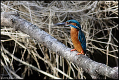 The Definition Of Alert (Phelo) Tags: ireland wild irish bird nature birds photography king wildlife kingfisher fisher kieran 2012 phelan