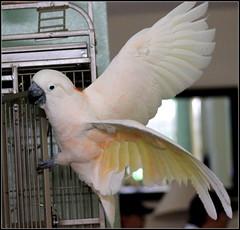 Moluccan Cockatoo by cuatrok77, on Flickr