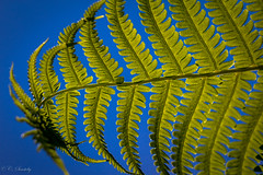 Fern (CecilieSonstebyPhotography) Tags: blue fern macro green leaves oslo canon leaf bregne bregner macro100mm canoneos60d