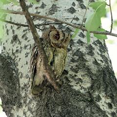 큰소쩍새 领角鸮 เค้ากู่ นกฮูก Collared Scops-Owl