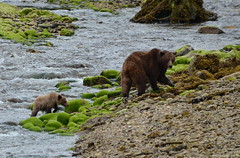 Mama & Cub crossing a creek (Photography Through Tania's Eyes) Tags: grizzlybear grizzly mom cub female ursusarctoshorribilis shoreline ktzimadeengrizzlybearsanctuary khutzeymateengrizzlybearsanctuary northernbc bc britishcolumbia canada taniasimpson photographer photography photograph photo image copyrightimage nikon nikond7000 water flow creek estuary westcoastlaunch princerupertadventuretours grizzlybeartour grizzlybearprofile profile