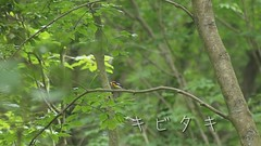 / Narcissus Flycatcher (Polotaro) Tags: bird nature pen olympus  zuiko ep1   everio      fzuiko300mmf45 gzhm450