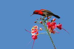Eastern Crimson Sunbird (Aethopyga siparaja siparaja) (Dave 2x) Tags: malaysia borneo sabah sunbird sandakan aethopygasiparaja aethopygasiparajasiparaja easterncrimsonsunbird daveirving httpwwwdaveirvingwildlifephotographycom