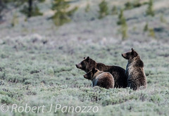 Looking for trouble (ChicagoBob46) Tags: cub yellowstonenationalpark yellowstone grizzly grizz grizzlybear autofocus goldwildlife thenaturesgreenpeace all