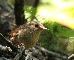 Winter Wren 3 (mbmcclintock) Tags: haystack