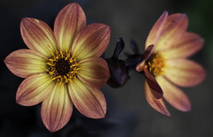 dalia1906 (dzolla) Tags: flowers red summer plants flower green june garden 50mm flora f14 f16 poppy f18 makro dalia