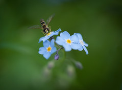 Buzzing summer job (@Tuomo) Tags: summer flower macro nikon bee nikkor 105mmvr goldenbee d700 fbdg