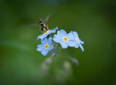 Buzzing summer job (@Tuomo) Tags: summer flower macro nikon bee nikkor 105mmvr goldenbee d700 fbdg