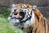 140426 Burgers' Zoo (JGOM) Tags: netherlands zoo arnhem nederland burgers tijger burgerszoo dierentuin dierenpark pantheratigrissumatrae sumatraansetijger burgersdierenpark flickrbigcats