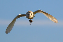 Head-On Vole Transport (jammo s) Tags: bird nature daylight flying wildlife hunting bluesky owl vole barnowl birdofprey bif tytoalba birdinflight canonef400mmf56lusm canoneos80d