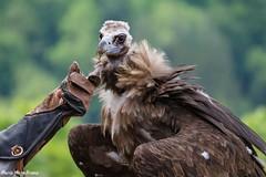 EINE GEIERLIEBE (rentmam1) Tags: bird raubvogel burg falknerei guttenberg geier greifvgel