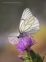 Aporia crataegi (PITUSA 2) Tags: naturaleza galicia mariposa animalia ourense bolboreta insecta lepidpteros pieridae aporia crataegi artrpodos trevinca pitusa2 elsabustomagdalena