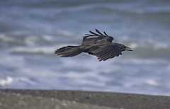 Low Flying Crow (dcnelson1898) Tags: california northerncalifornia outdoors photography coast nikon highway1 pacificocean fortbragg mackerricherstatepark mendocinocounty