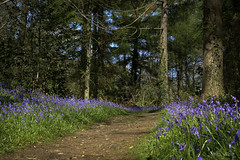 Path through Bluebells (shawnraisin d+p) Tags: wood blue trees plant flower tree green nature bluebells wales forest woodland spring woods solitude mood colours place purple forestry cymru restful peaceful calm serene idyllic ceredigion tranquil rspb enchanting wop harmonious ynyshir shawnwhite fujifilmxt10